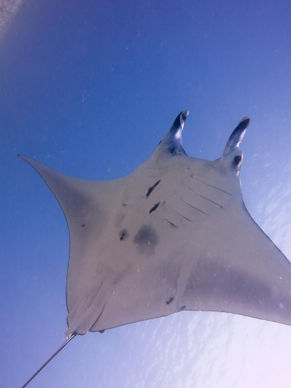 Manta Ray ID photo. Komodo National Park